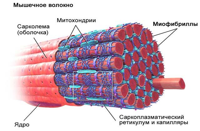 Строение повреждения мышечного волокона