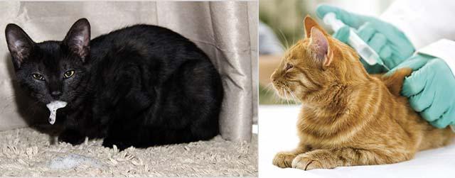 Вакцинация при бешенстве кота