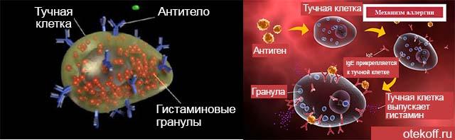 Модель проявления гистамина