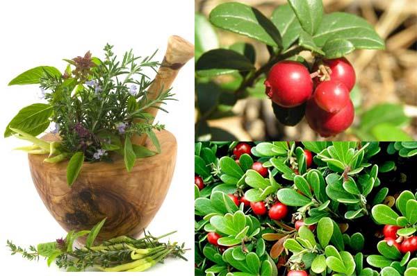 Листья толокнянки, березовые почки, ягоды можжевельника