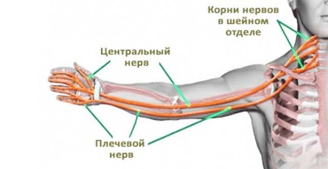 Центральный нерв плечевого пояса