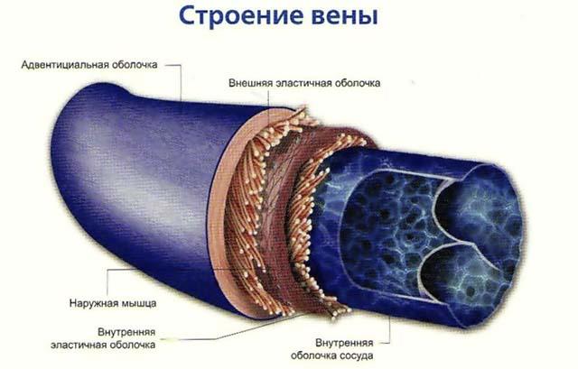 Строение вены