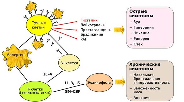 Схема аллергии гистамина