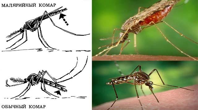 Виды комаров