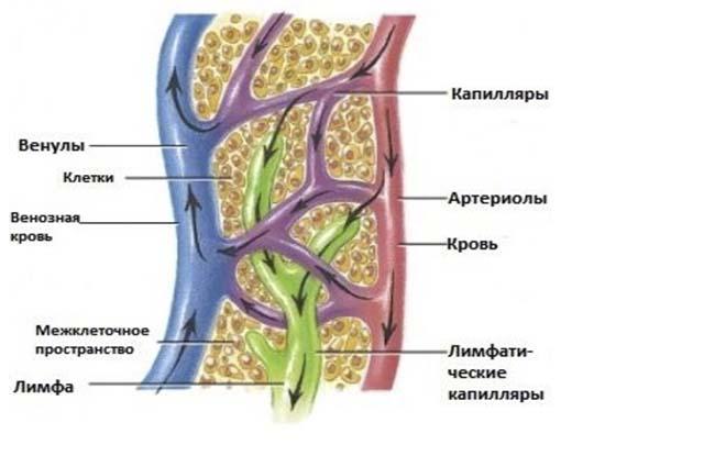 Лимфа в организме