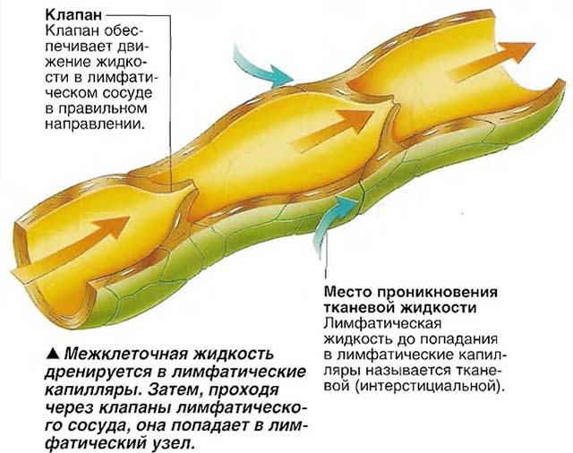 Капилляр и тканевая жидкость