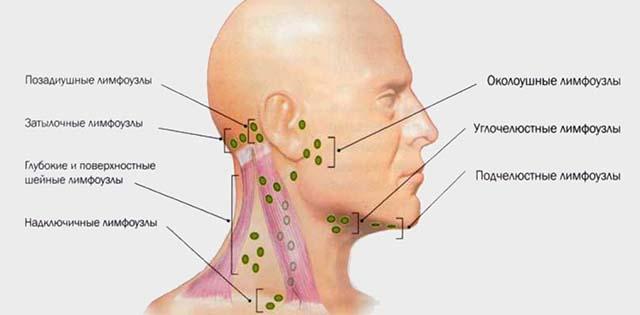 Расположение лимфатических узлов на голове