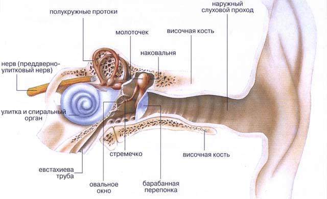 Анатомия слухового аппарата