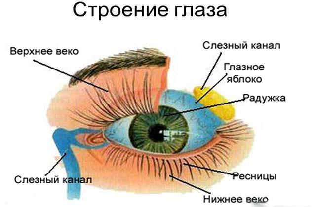 Строение глазного аппарата