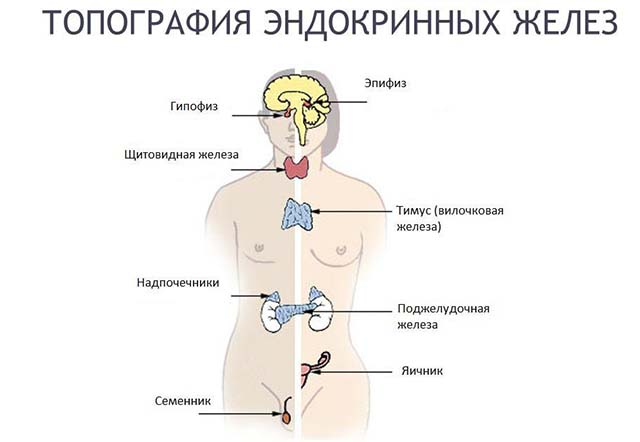 Нервно-эндокринная система
