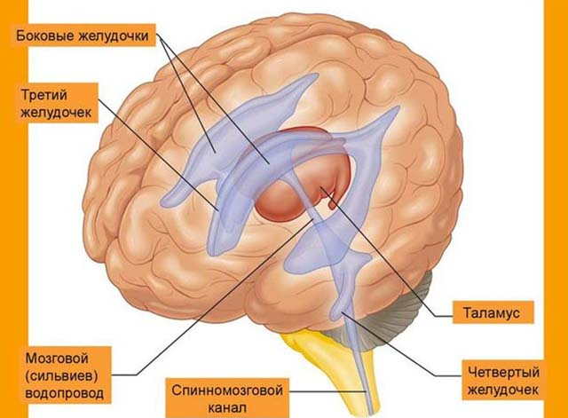 Расположение желудочков головного мозга