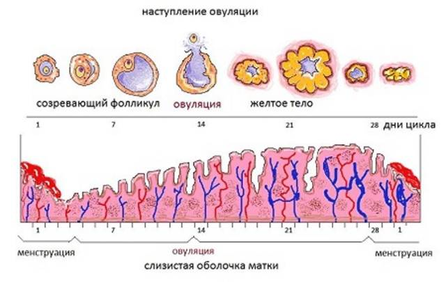 Рост эндометрия по фазам цикла